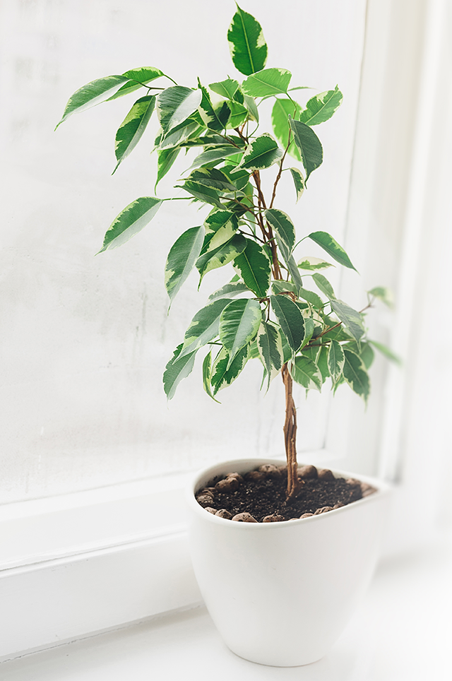 Indoor Ficus Tree